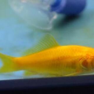金魚 レモンコメット