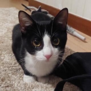 一旦募集停止☆子猫☆推定5ヶ月ハチワレの女の子