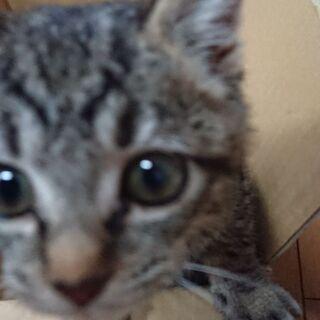 生後1カ月 キジトラ子猫 お譲りいたします