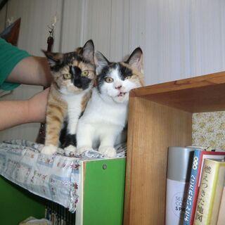 三毛猫の子猫2匹 里親さんを探しています