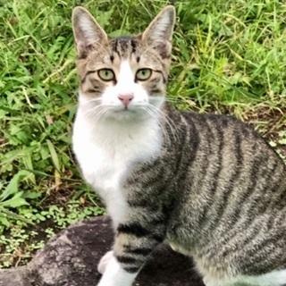 デレデレお膝猫 キジシロの男の子