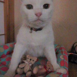 ポンポンしっぽの白猫・雌・推定10歳