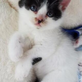 至急!1,5ヶ月の子猫♀