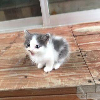 (里親決まりました)☆生後約3週間 白と黒の可愛い子猫☆