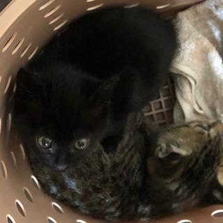 【里親決定しました】子猫 生後1ヶ月 まん丸お目目 黒猫 里親募集