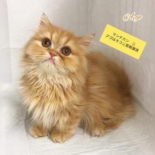 マンチカン 短足 子猫 →→→本文をよくご覧下さいませ。  アゴはネコ