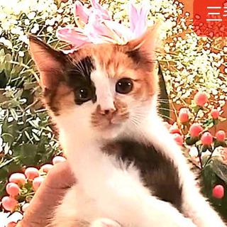 可愛い三毛猫❣️2ヶ月半くらい♀