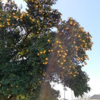 柚子(無農薬)