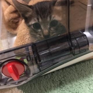 ヤンチャなギジトラ(テオ君)♂3ヶ月 - 猫