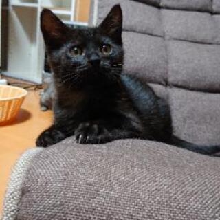 元気な黒猫君(先に募集しましたキジトラ君と兄弟)
