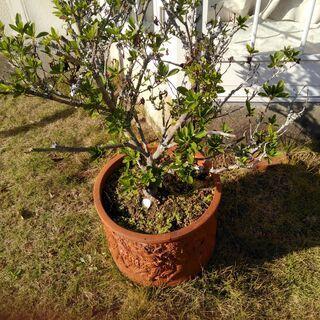 植木鉢 大30C