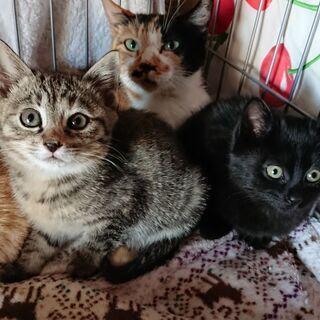 生後1~2ヶ月の子猫3匹+中猫1匹を保護しています。優しい里親さ...