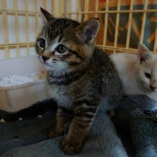 1ヶ月ちょっとの可愛いトラの子猫(長毛キジトラは里親さんが決まり...