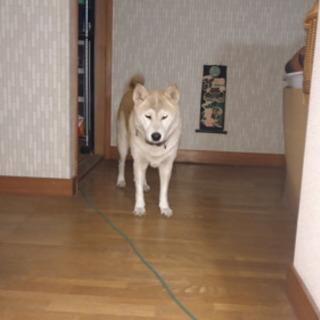 とても温厚で人懐こい13歳の柴犬です
