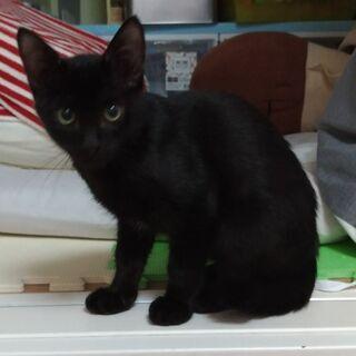 子猫5ヵ月黒猫とサビ猫の仲良し兄妹