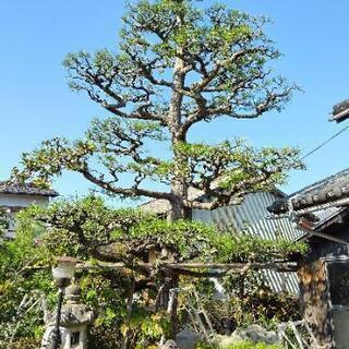 🌲剪定  松の手入れ   庭木  雑木