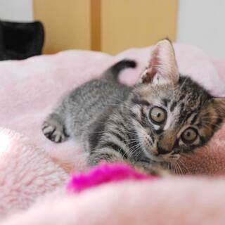 【里親さん決定】生後約4か月の子猫です。人が大好き!元気な男の子...