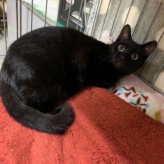 控えめ美しい黒猫キキ君7か月
