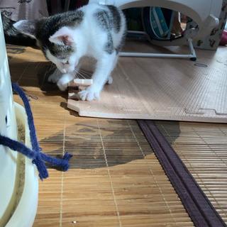 2ヶ月の仔猫