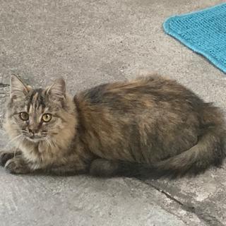 とても人に懐く可愛いサビのメスの子猫の里親募集中 - 福山市