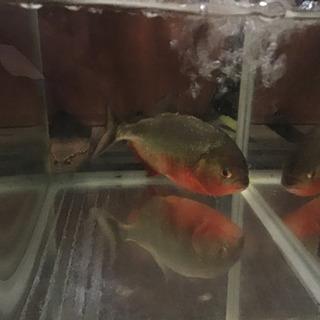 肉食熱帯魚引き取り希望