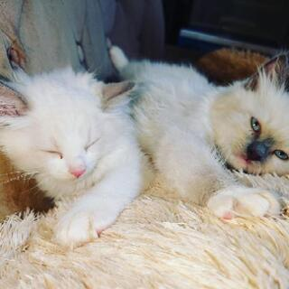ラブドールの子猫が家族になりました