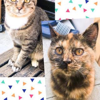 生後およそ6ヶ月2匹(1匹も可) メスのサビ猫とオスのサバトラ