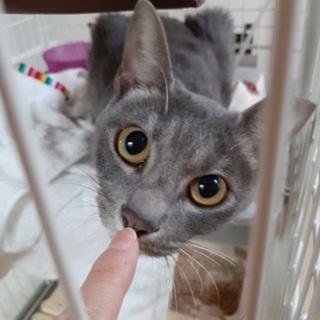 「再投稿」不妊手術済のロシアンブルー風の美猫ちゃん
