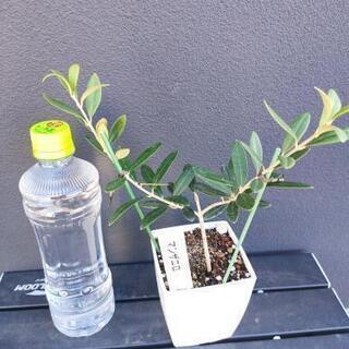 オリーブのミニ苗(実が大きい!マンザニロ)②