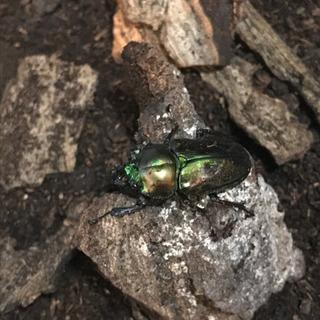 幼虫(ニジイロクワガタ)