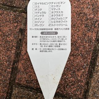 花 アンスリウム スイートドリーム サトイモ科 − 京都府
