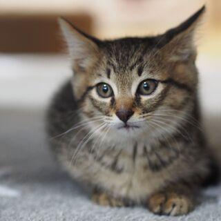 綺麗なキジ子猫ウイン君  兵庫県内希望