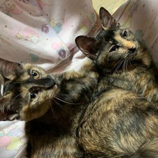 ベタ慣れのサビ子猫の画像