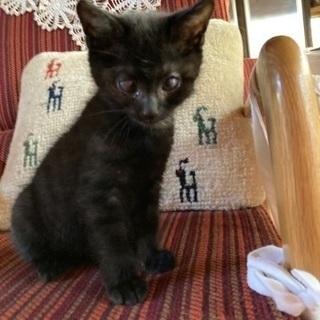 元気な黒猫の男の子、甘えん坊です(生後2ヶ月位)