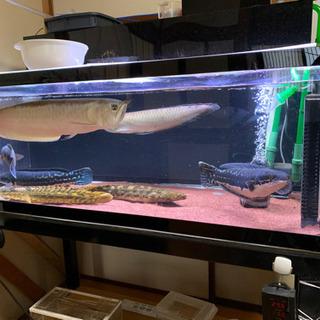 【ネット決済】大型熱帯魚、アロワナ、ポリプ、トーマン