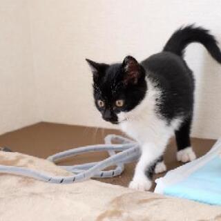 甘えん坊の優しい白黒仔猫
