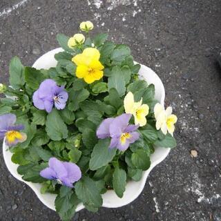 ビオラ鉢植え 1番
