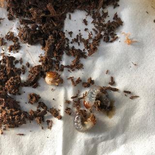 アクティオンゾウカブト 幼虫