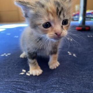 三毛猫の赤ちゃん里親募集❗️