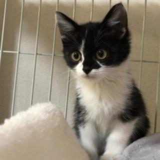 黒×白の子猫 凡そ2ヶ月位 オス
