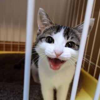 2-3ヶ月目の子猫です。鳥取県米子市から出向きます。是非子猫から...
