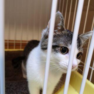 2-3ヶ月目の子猫です。鳥取県米子市から出向きます。是非子猫から室内で終生飼って頂ける方御願いします。 - 米子市