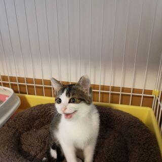2-3ヶ月目の子猫です。鳥取県米子市から出向きます。是非子猫から室内で終生飼って頂ける方御願いします。 − 鳥取県