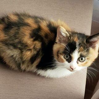 (一時受付終了)三毛猫の子猫 2匹います 2ヶ月くらい - 水戸市