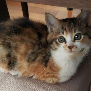 (一時受付終了)三毛猫の子猫 2匹います 2ヶ月くらい - 猫