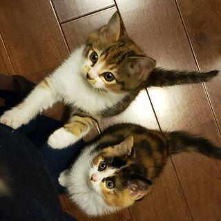 (一時受付終了)三毛猫の子猫 2匹います 2ヶ月くらい