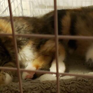 (一時受付終了)三毛猫の子猫 2匹います 2ヶ月くらい − 茨城県
