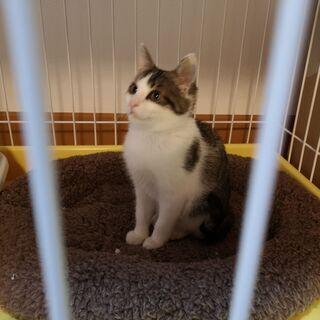 2-3ヶ月目の子猫です。鳥取県米子市から出向きます。是非子猫から室内で終生飼って頂ける方御願いします。 - 里親募集