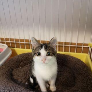 2-3ヶ月目の子猫です。鳥取県米子市から出向きます。是非子猫から室内で終生飼って頂ける方御願いします。 - 猫