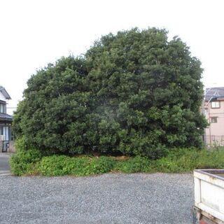 大木、枝落とし、ユンボ、大量、格安